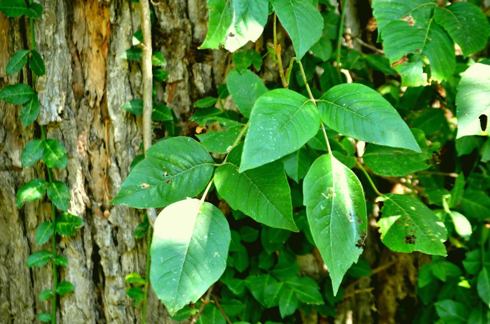 Le Poison Ivy en Géorgie
