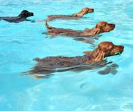 Splish Splash Doggie Bash, Bichon va à la piscine
