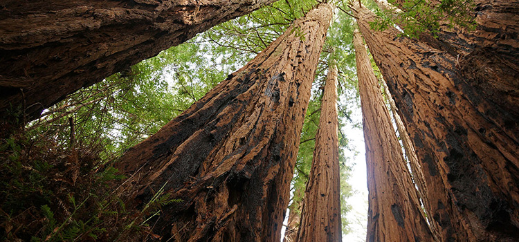 article-redwoods-californie-nord (1)