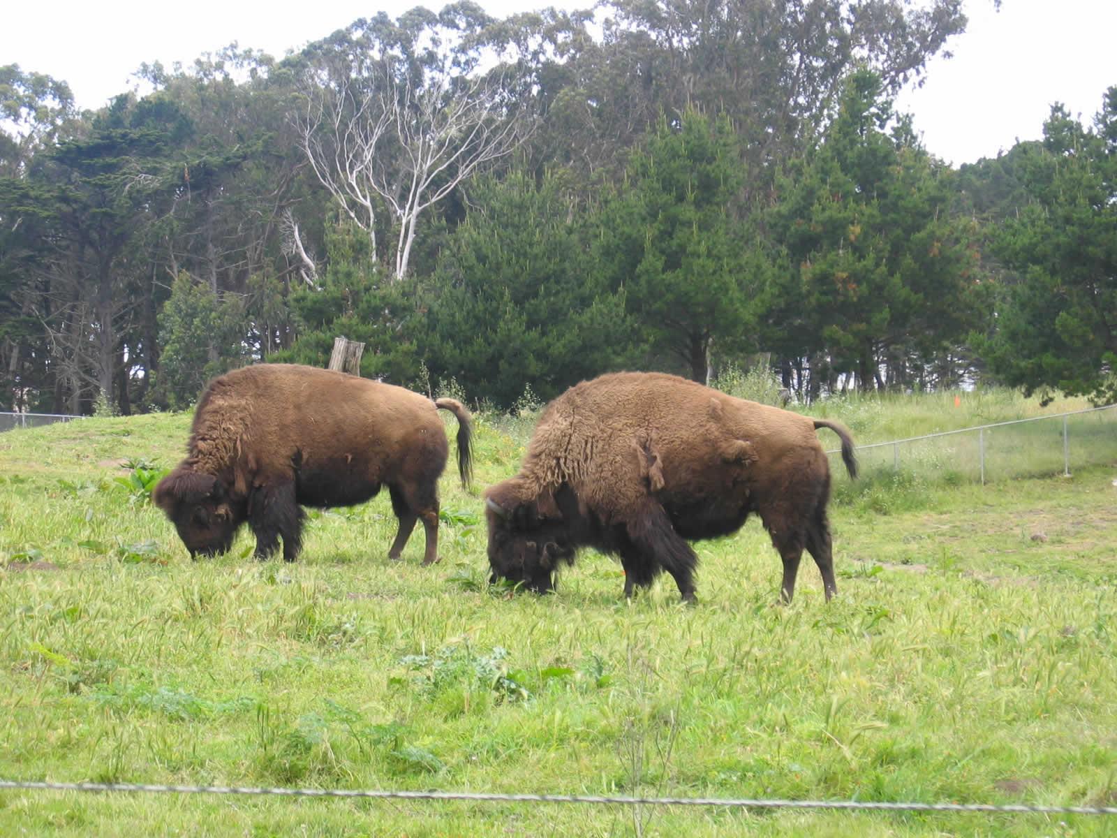 Voir des bisons aux etats unis bisons golden gate park for Acheter une maison aux etats unis