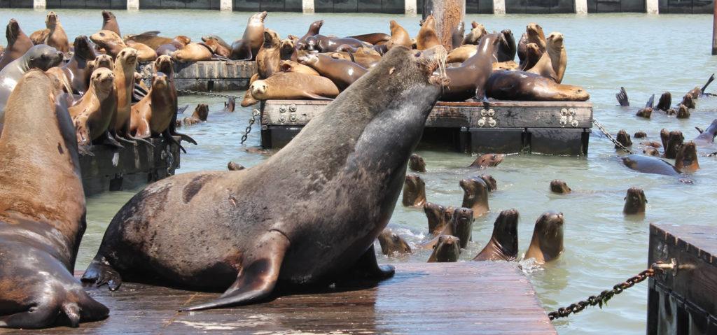 pier-39-san-francisco-ponton-sea-lion