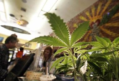cannabis-loi-consommation-medicale-plantation-une2