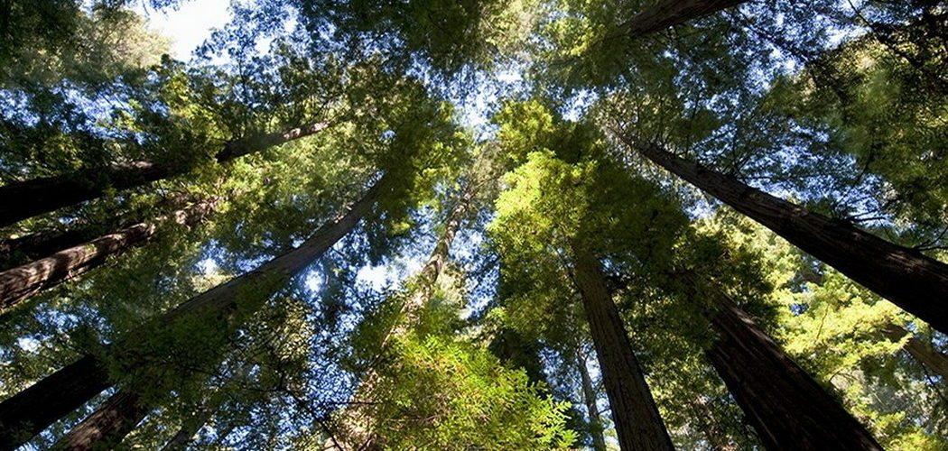les-sequoias-geants-de-californie-a-la-une