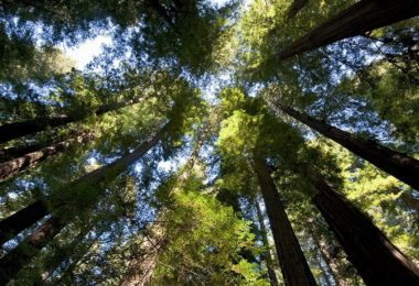 les-sequoias-geants-de-californie-a-la-une