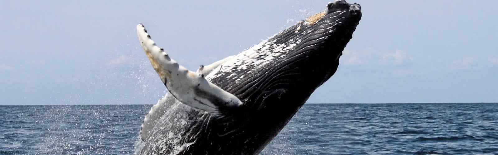 migration-baleines-grises-ocean-pacifique-san-diego-une