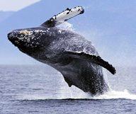 La migration des baleines à San Diego