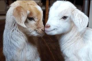 Des chèvres qui font le cobra
