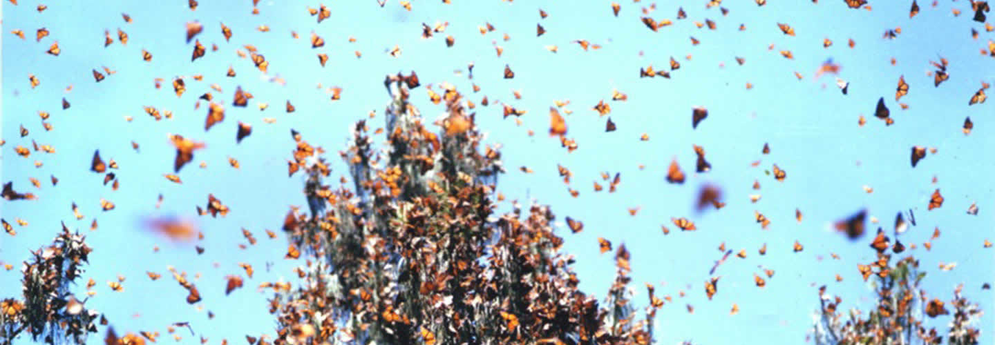 migration-papillons-painted-ladies-californie-une