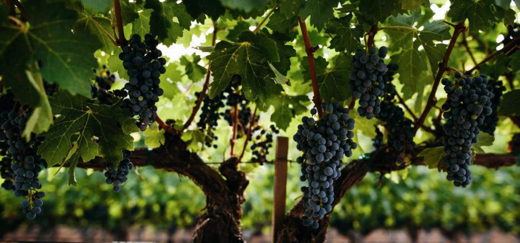 route-des-vins-biodynamiques-autour-san-francisco-californie-demetria-estate