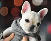 french-bulldog-cute