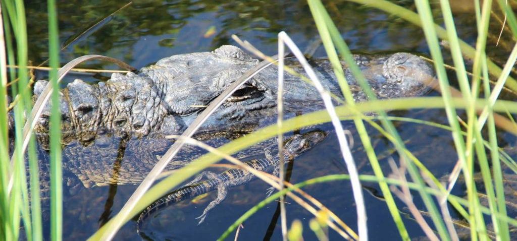 Les immanquables autour de Miami, visiter les Everglades en airboat