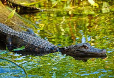 aligator-everglades-floride