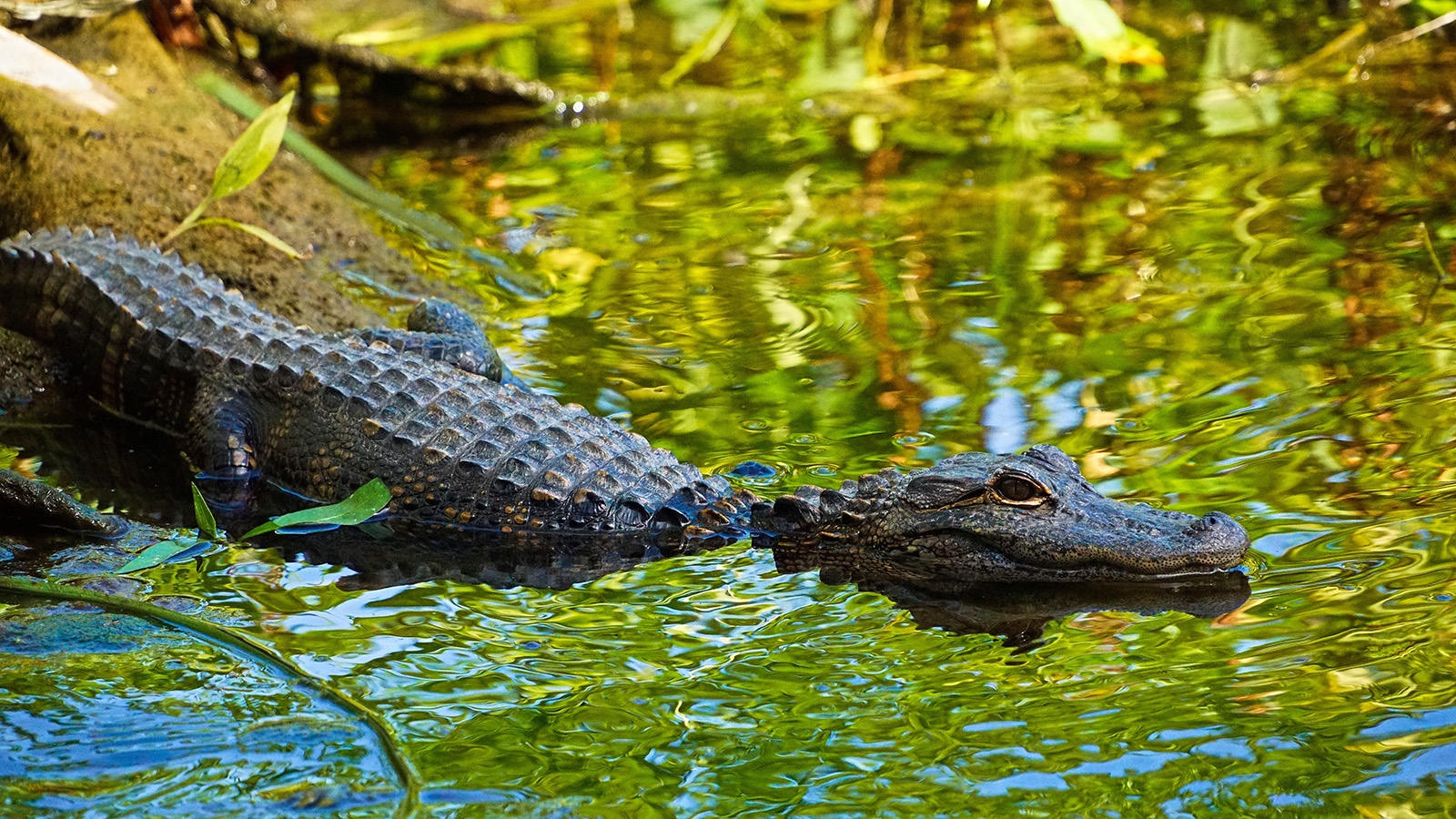 En terrasse avec les alligators – Everglades