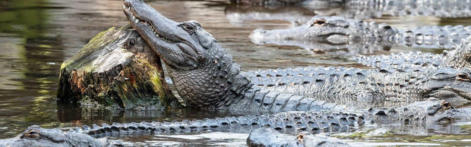 alligator-farm-saint-augustine-une