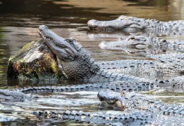 alligator-farm-saint-augustine-une