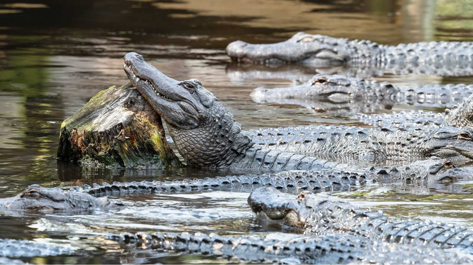 The Alligator Farm, le royaume des crocos à Saint Augustine