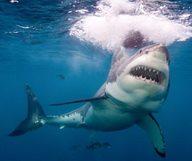 Les attaques de requins en Floride