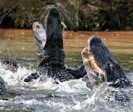 En terrasse avec les alligators – Everglades