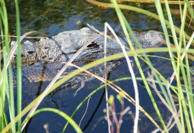 Une excursion dans les Everglades