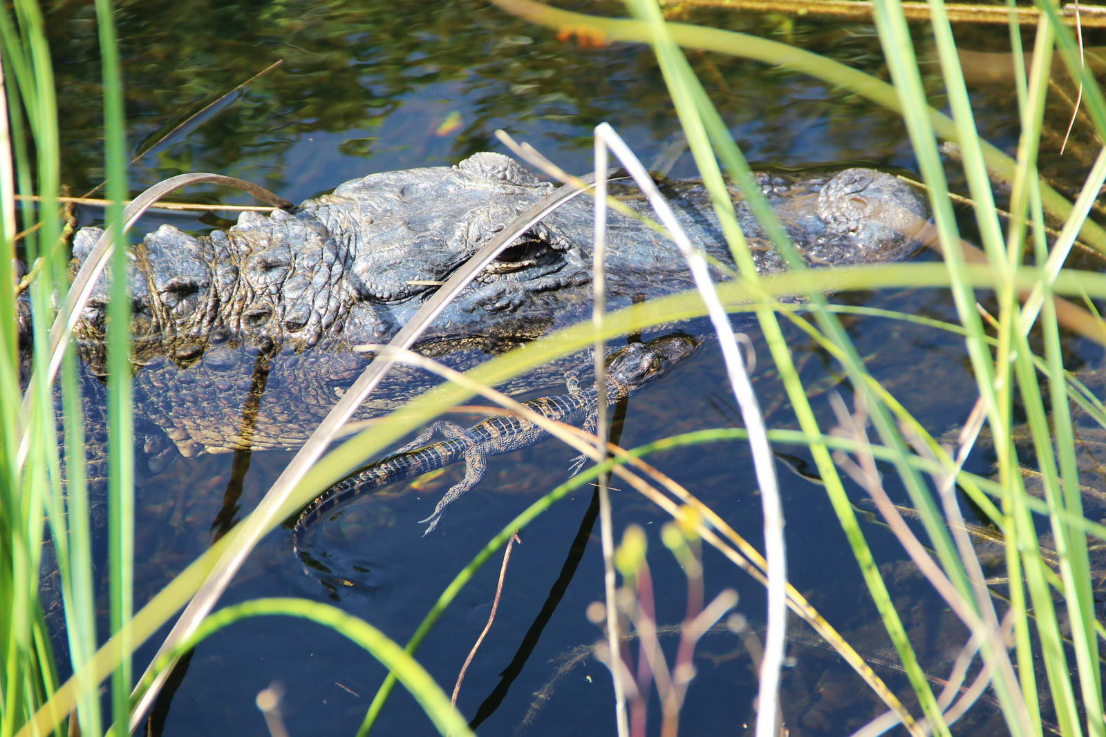 Visite guidée des Everglades en hydroglisseur
