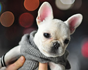 french-bulldog-cute