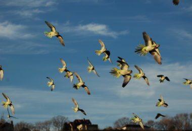 Les Wild Parrots de Brooklyn