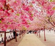 Le National Cherry Blossom Festival de D.C.