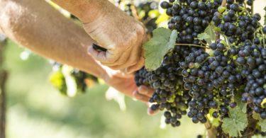 visite-vignes-virginie-cave-vin-une