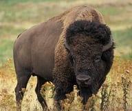 Où admirer des bisons à San Francisco ?