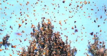 migration-papillons-painted-ladies-californie-une