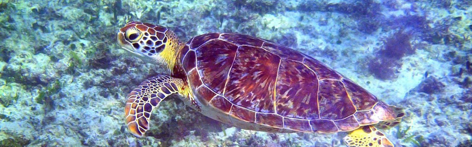 ponte-protection-tortues-plage-turtle-walk-floride-une