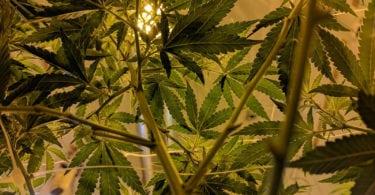 cannabis-loi-consommation-medicale-plantation-une