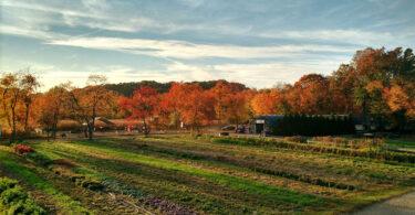 Queens-Farm-Pumpkin-Picking-French-District
