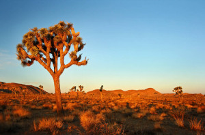 joshua-tree-park-parc-national-californie-desert