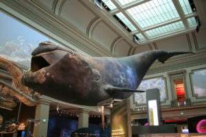 right-whale
